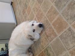 Molly, chien Chien de montagne des Pyrénées