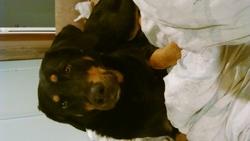 Molly , chien