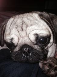 Molly, chien Carlin