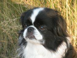 Mollyrose, chien Épagneul japonais