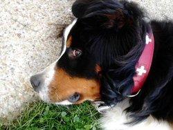 Molokai, chien Bouvier bernois