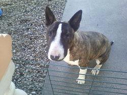 Molosse, chien Bull Terrier