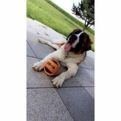 Moly, chien Saint-Bernard