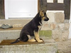 Moly , chien Berger allemand