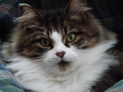 Mom Ti-Coeur, chat Sibérien