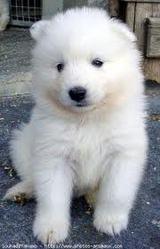 Momcka, chien Samoyède