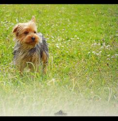 Momo, chien Yorkshire Terrier