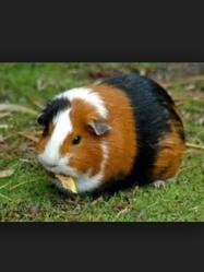 Momo, rongeur Cochon d'Inde