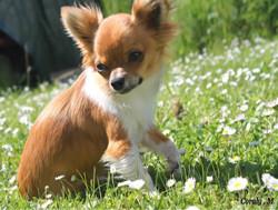 Mon Chichi, chien Chihuahua