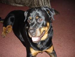 Mona, chien Rottweiler