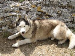 Mona, chien Malamute de l'Alaska