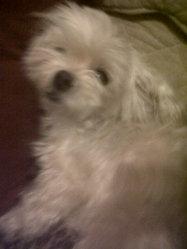 Mona, chien Coton de Tuléar