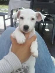 Monik, chien Jack Russell Terrier
