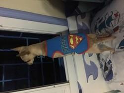 Monji, chien Chihuahua