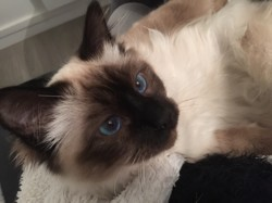 Monoi, chat Birman