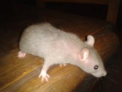 Monroe, rongeur Rat