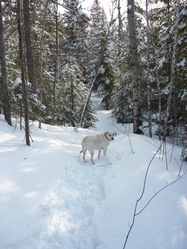 Monroe, chien Labrador Retriever