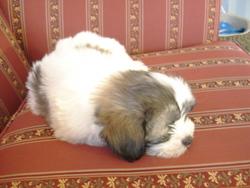 Monsieur, chien Bichon maltais