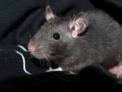 Monsieur Rip, rongeur Rat
