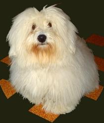 Monsieur-Gaspadinn, chien Coton de Tuléar