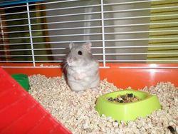 Monsieur Higgins, rongeur Hamster