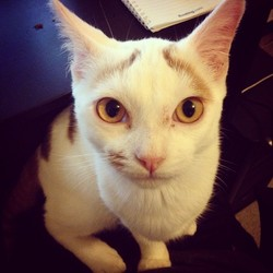 Monsieur Royal, chat Japanese Bobtail
