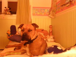 Monster, chien Boxer