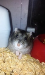 Montana, rongeur Hamster