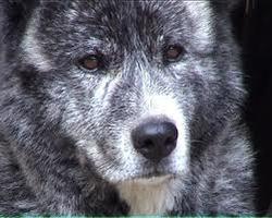 Montaro, chien Akita Inu