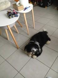 Monty, chien Shih Tzu