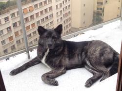 Moochi, chien Akita Inu
