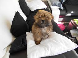Moogly, chien Lhassa Apso