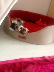 Mookie, chien Jack Russell Terrier