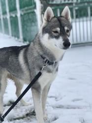 Moon, chien Husky sibérien