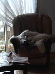 Moon White, chien Berger blanc suisse