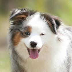 Moonlight, chien Berger australien