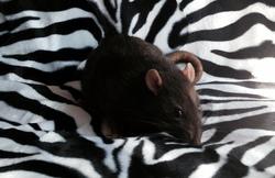 Moos, rongeur Rat