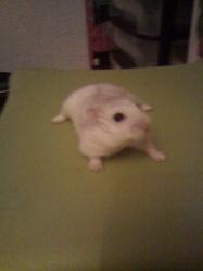 Mordicus, rongeur Hamster