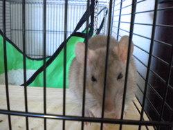 Manji, rongeur Rat