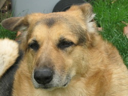 Morgane, chien Berger belge