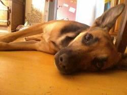 Morgane, chien