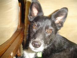 Morgane, chien Schipperke