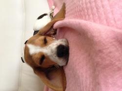 Morphée, chien Beagle