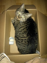 Morphée, chat Chartreux