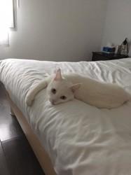 Morris, chat Européen