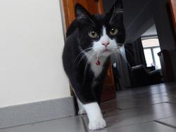 Mortie, chat Européen