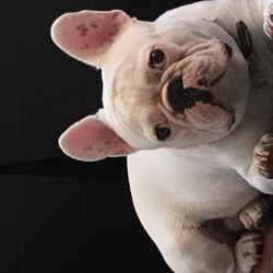 Mortimer, chien Bouledogue français