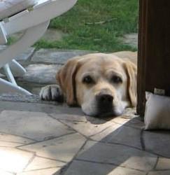Mory Au Paradis, chien Labrador Retriever