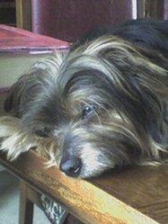 Motus , chien Yorkshire Terrier
