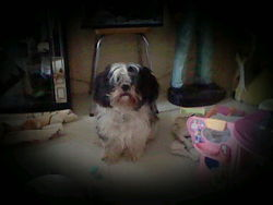 Mouche, chien Shih Tzu
